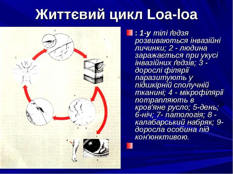 Життєвий цикл Loa-loa : 1-у тілі ґедзя розвиваються інвазійні личинки; 2 - лю...