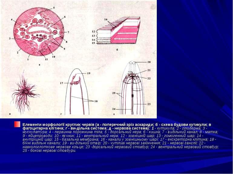 Елементи морфології круглих червів (а - поперечний зріз аскариди; б - схема б...