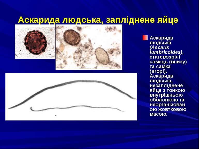 Аскарида людська, запліднене яйце Аскарида людська (Ascaris lumbricoides), ст...
