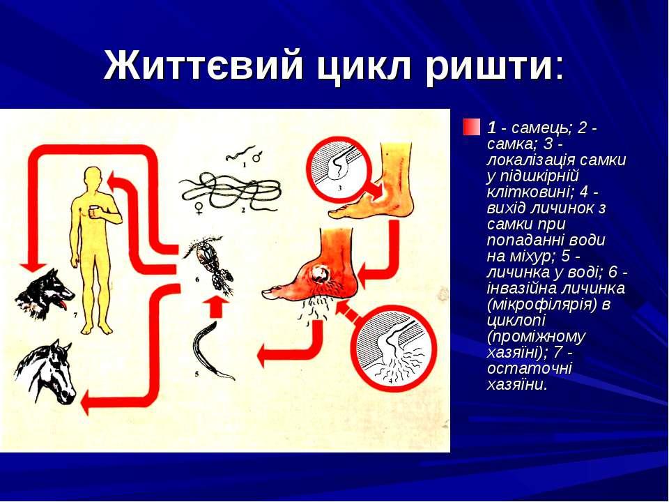 Життєвий цикл ришти: 1 - самець; 2 - самка; З - локалізація самки у підшкірні...