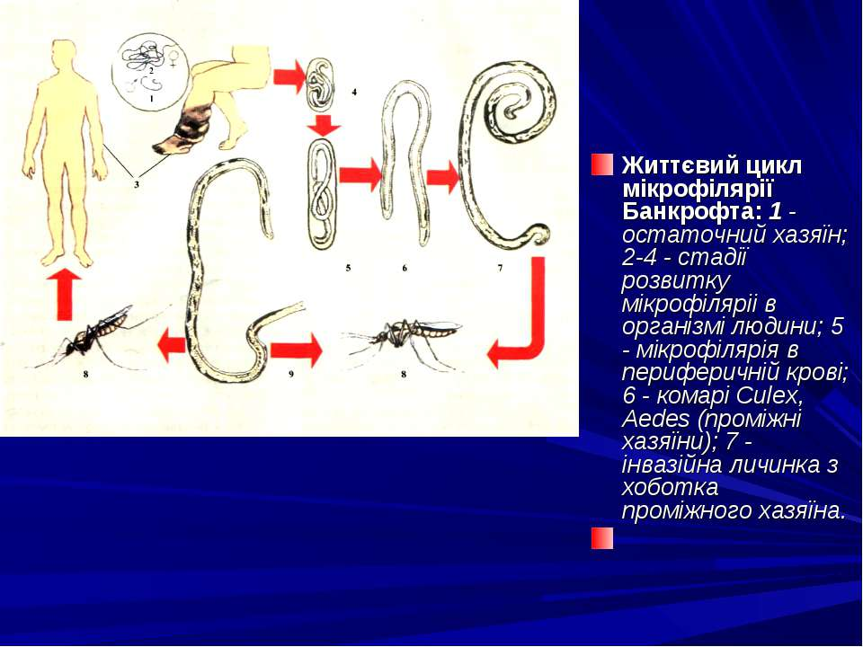 Життєвий цикл мікрофілярії Банкрофта: 1 - остаточний хазяїн; 2-4 - стадії роз...