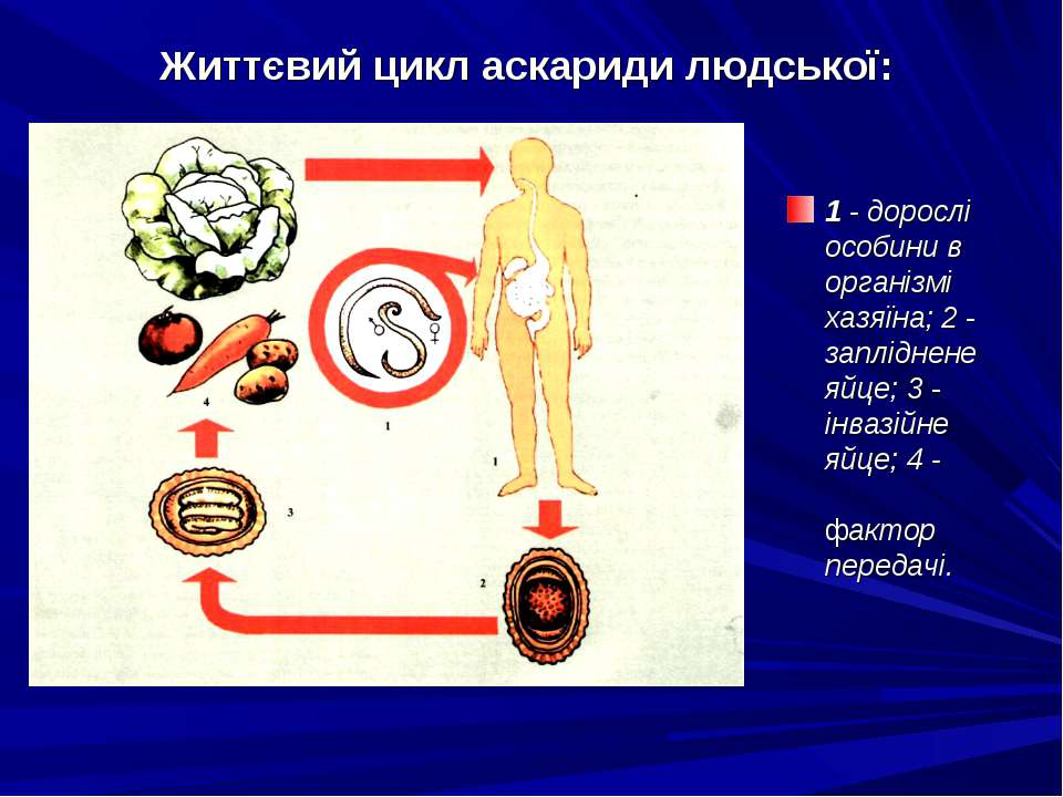 Життєвий цикл аскариди людської: 1 - дорослі особини в організмі хазяїна; 2 -...