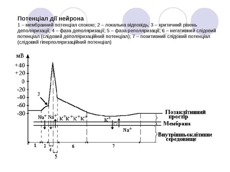 Потенціал дії нейрона 1 – мембранний потенціал спокою; 2 – локальна відповідь...