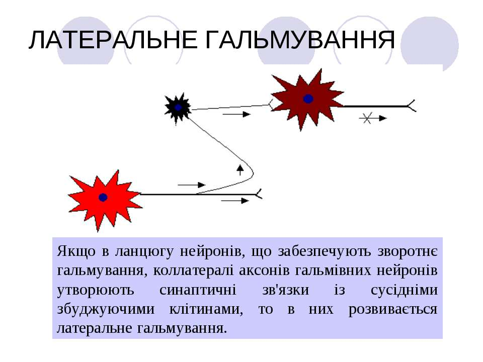 ЛАТЕРАЛЬНЕ ГАЛЬМУВАННЯ Якщо в ланцюгу нейронів, що забезпечують зворотнє галь...