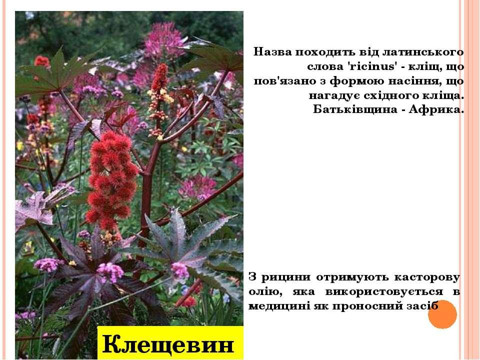 Назва походить від латинського слова 'ricinus' - кліщ, що пов'язано з формою ...