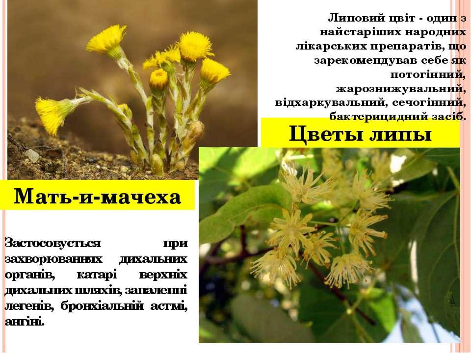 Мать-и-мачеха Цветы липы Застосовується при захворюваннях дихальних органів, ...