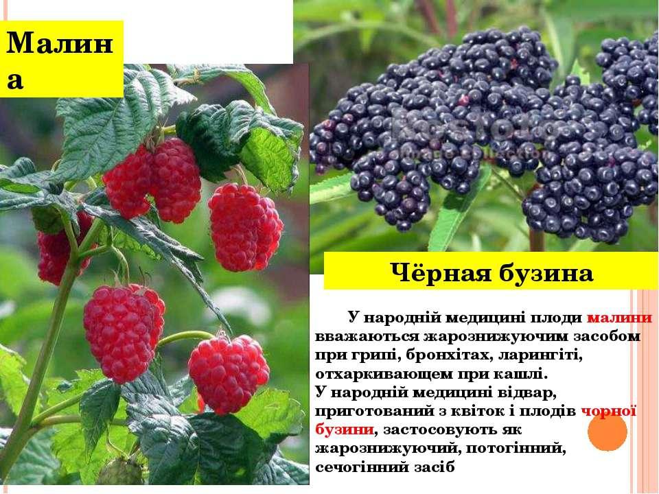 Чёрная бузина Малина У народній медицині плоди малини вважаються жарознижуючи...