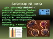 Цинк – компонент деяких ферментів та гормонів. Приймає участь у анаеробному д...