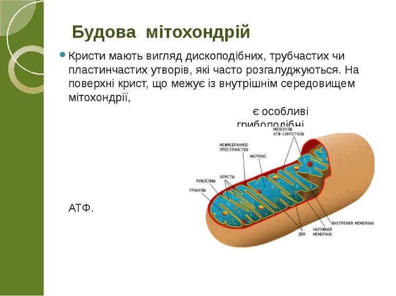 Кристи мають вигляд дископодібних, трубчастих чи пластинчастих утворів, які ч...