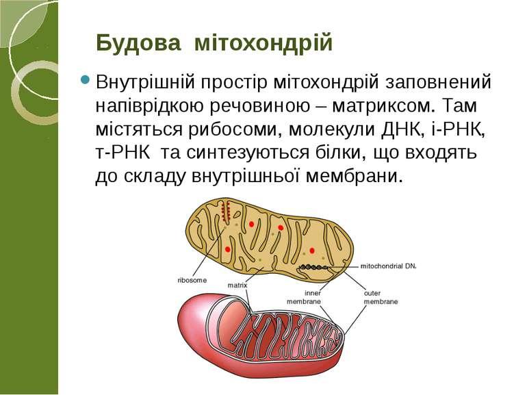 Внутрішній простір мітохондрій заповнений напіврідкою речовиною – матриксом. ...