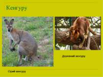 Кенгуру Сірий кенгуру Деревний кенгуру