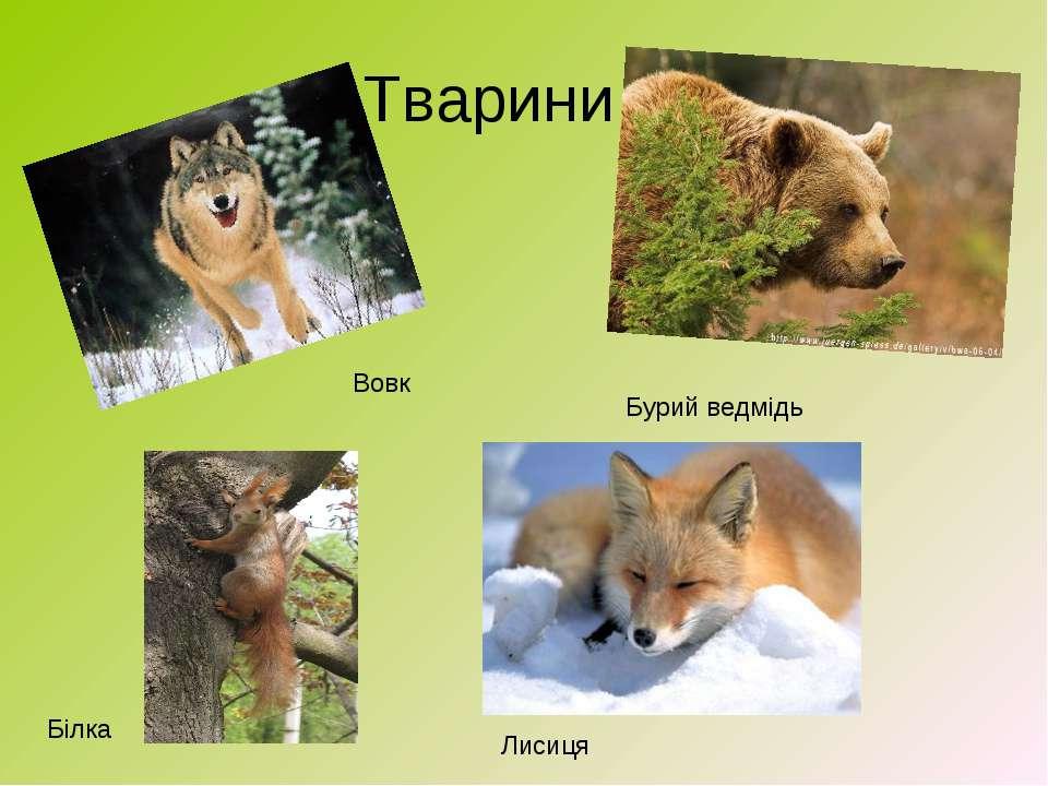Тварини Вовк Бурий ведмідь Лисиця Білка