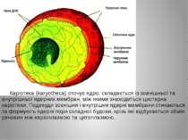 Каріотека (karyotheca) оточує ядро; складається із зовнішньої та внутрішньої ...