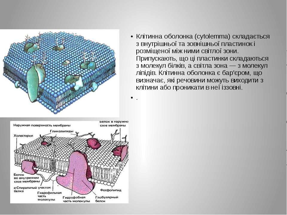 Клітинна оболонка (cytolemma) складається з внутрішньої та зовнішньої пластин...