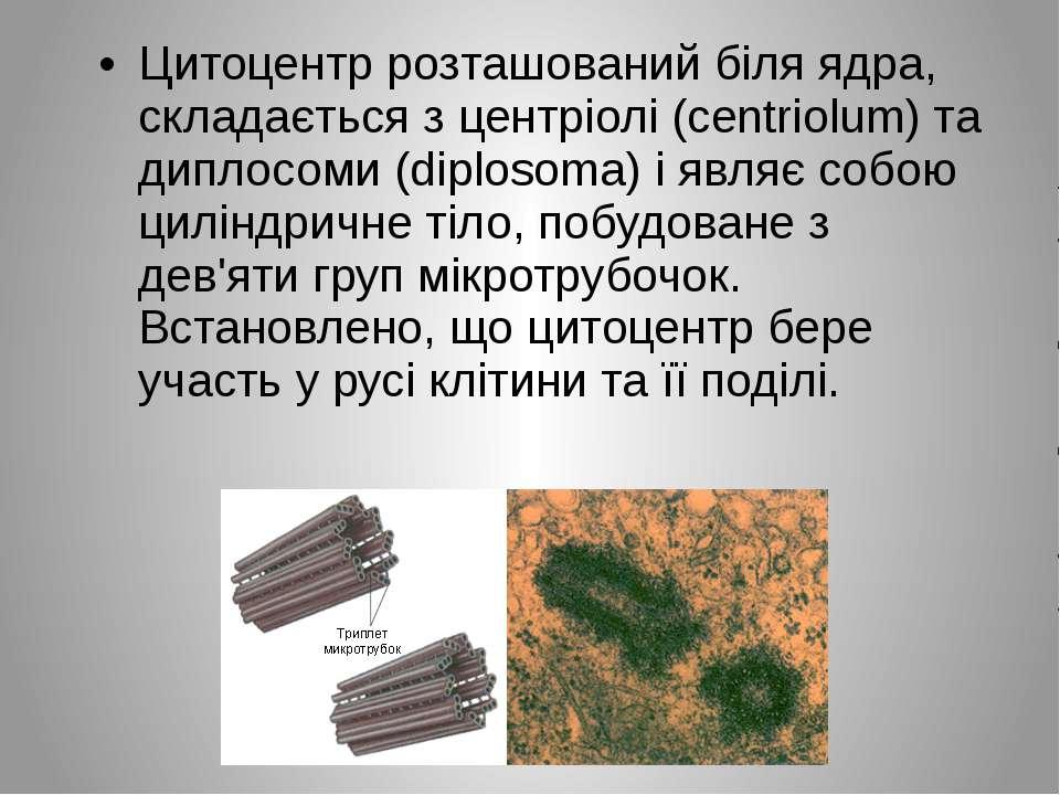 Цитоцентр розташований біля ядра, складається з центріолі (centriolum) та дип...