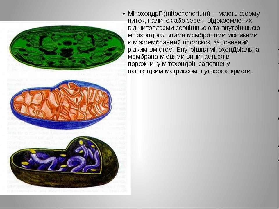Мітохондрії (mitochondrium) —мають форму ниток, паличок або зерен, відокремле...