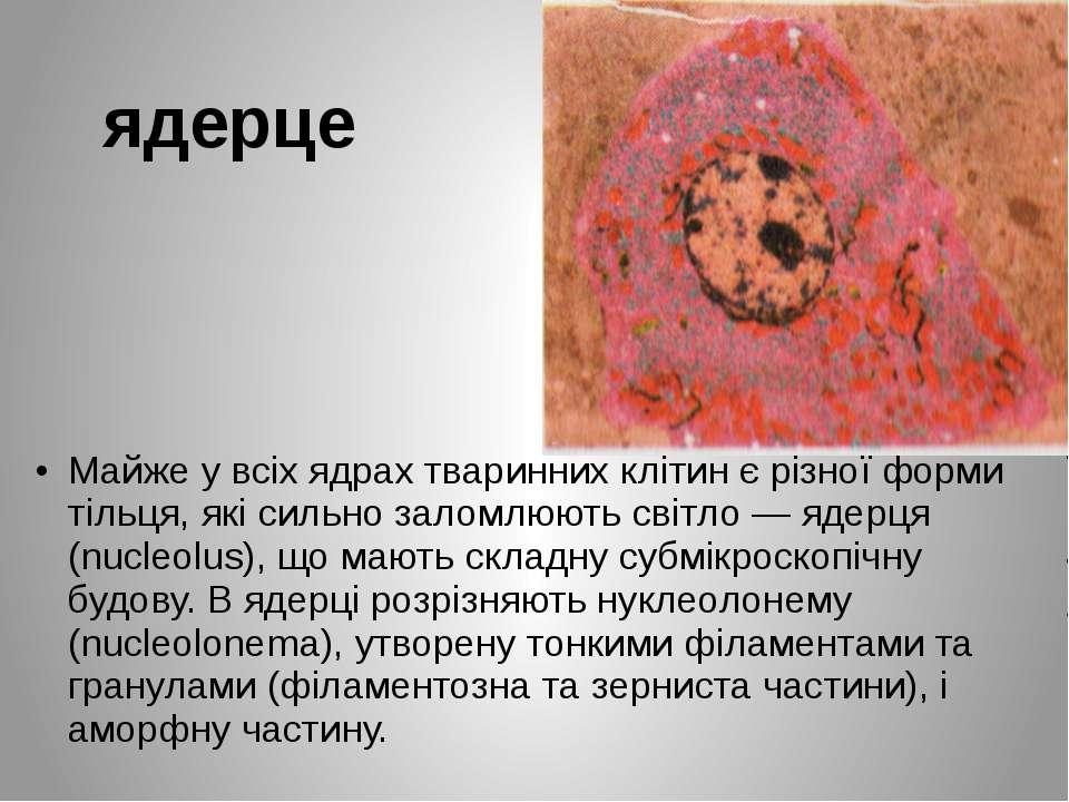 ядерце Майже у всіх ядрах тваринних клітин є різної форми тільця, які сильно ...