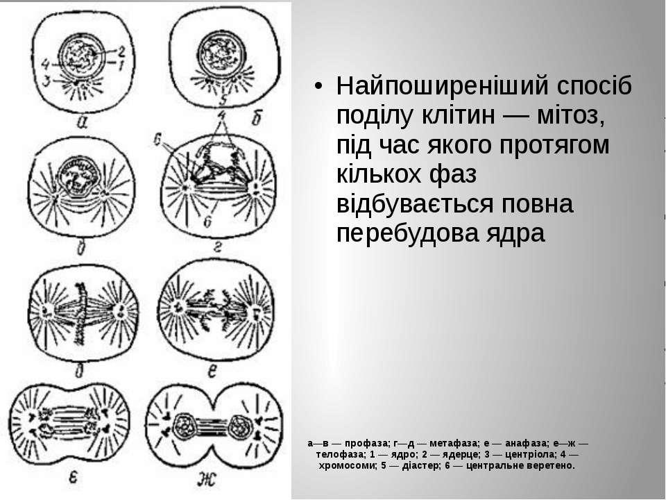 а—в — профаза; г—д — метафаза; е — анафаза; е—ж — телофаза; 1 — ядро; 2 — яде...