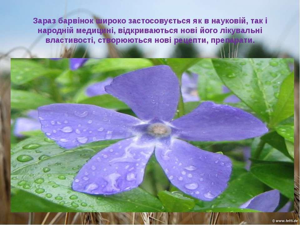Зараз барвінок широко застосовується як в науковій, так і народній медицині, ...