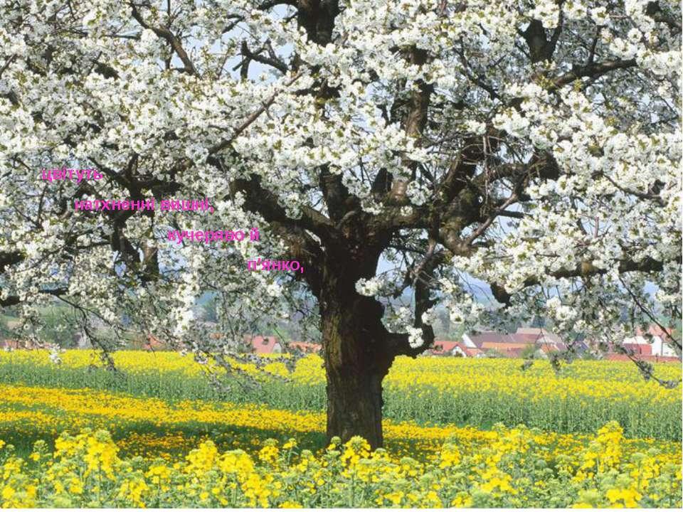 цвітуть натхненні вишні, кучеряво й п'янко,