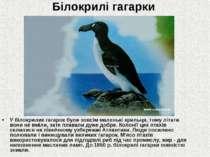 Білокрилі гагарки У білокрилих гагарок були зовсім маленькі крильця, тому літ...