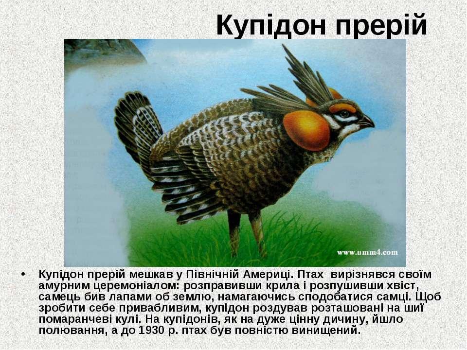 Купідон прерій Купідон прерій мешкав у Північній Америці. Птах вирізнявся сво...