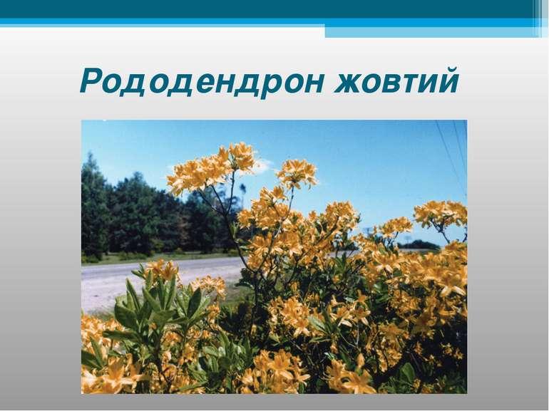 Рододендрон жовтий