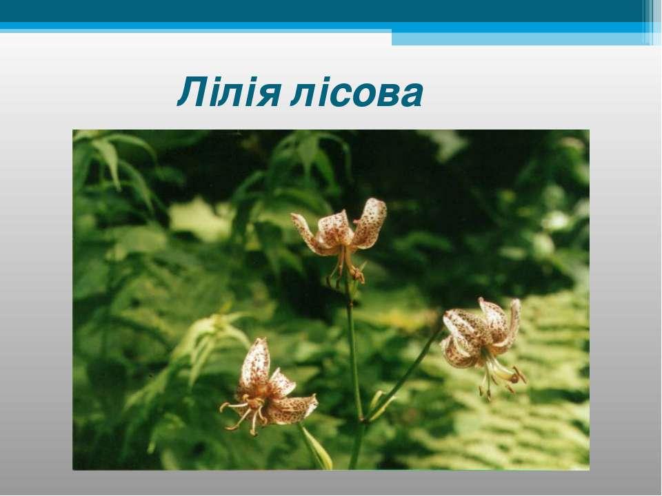 Лілія лісова