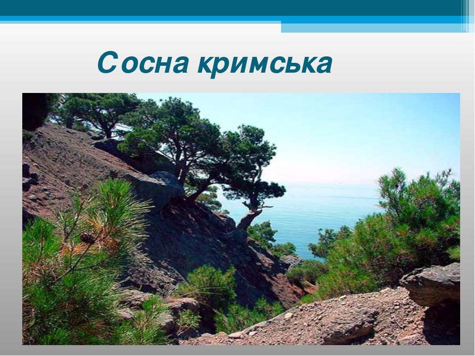 Сосна кримська