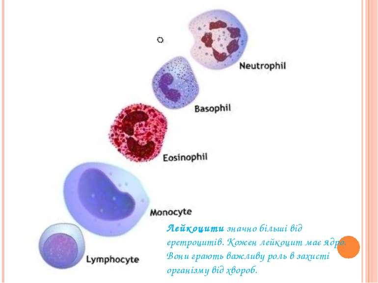 Лейкоцитизначно більші від еретроцитів. Кожен лейкоцит має ядро. Вони грають...