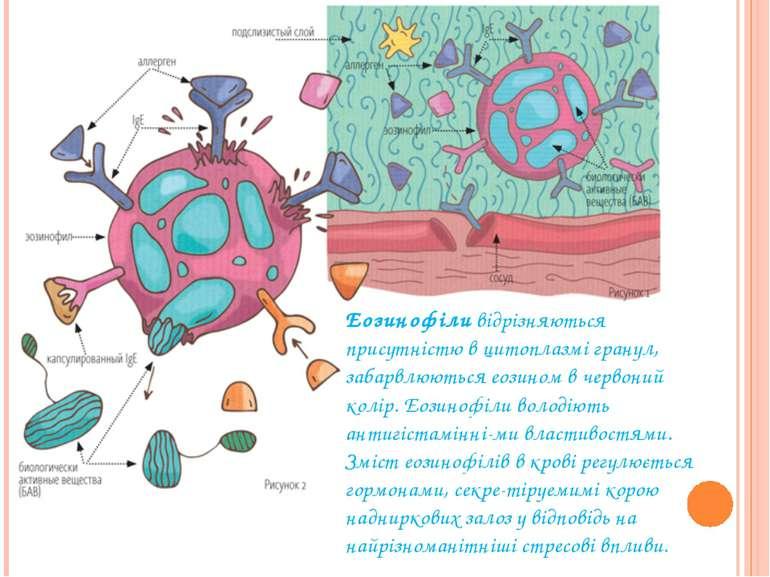 Еозинофіливідрізняються присутністю в цитоплазмі гранул, забарвлюються еозин...