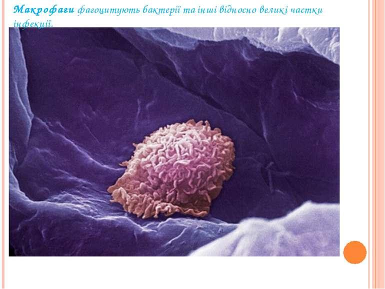 Макрофагифагоцитують бактерії та інші відносно великі частки інфекції.