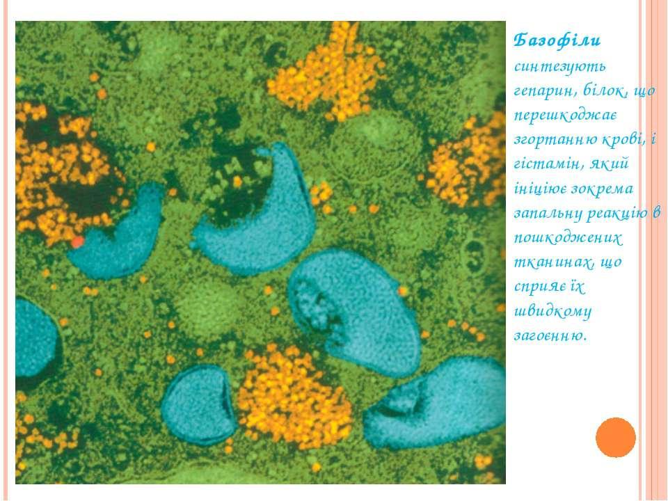 Базофіли синтезують гепарин, білок, що перешкоджає згортанню крові, і гістам...