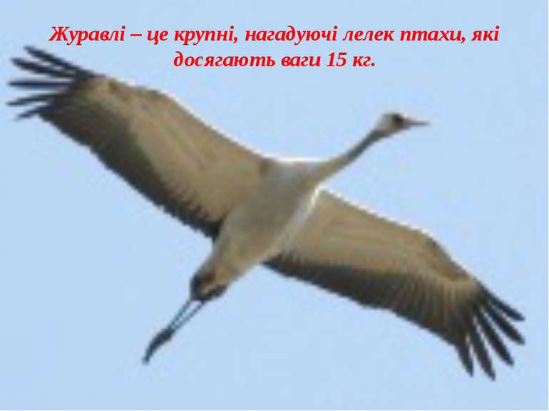 Журавлі – це крупні, нагадуючі лелек птахи, які досягають ваги 15 кг.