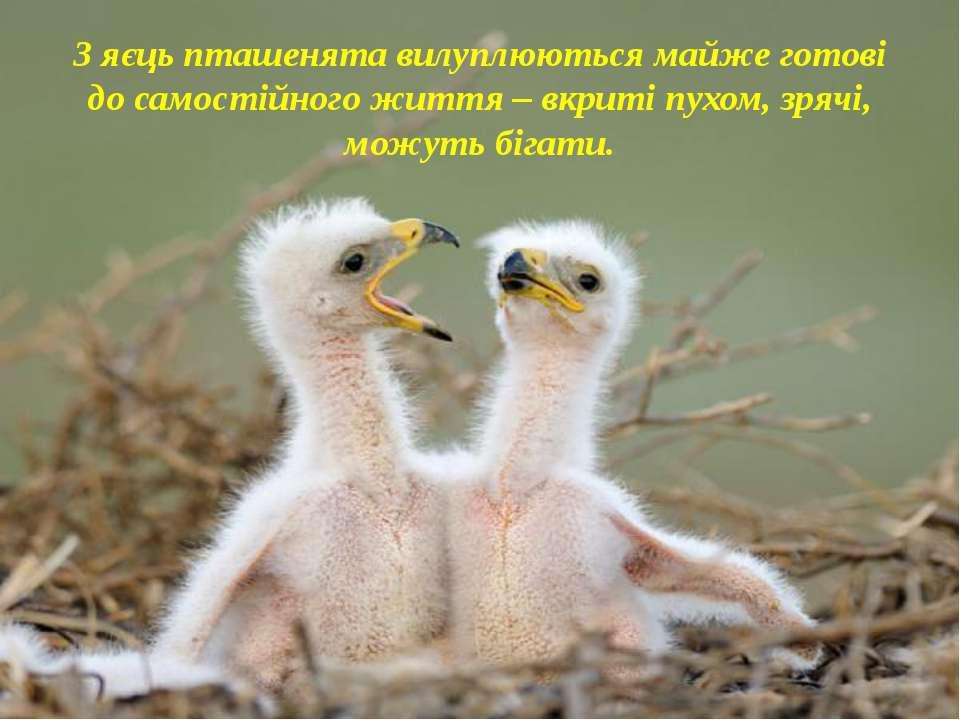 З яєць пташенята вилуплюються майже готові до самостійного життя – вкриті пух...