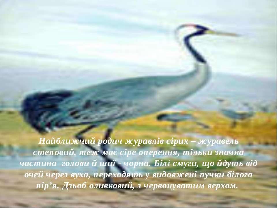 Найближчий родич журавлів сірих – журавель степовий, теж має сіре оперення, т...