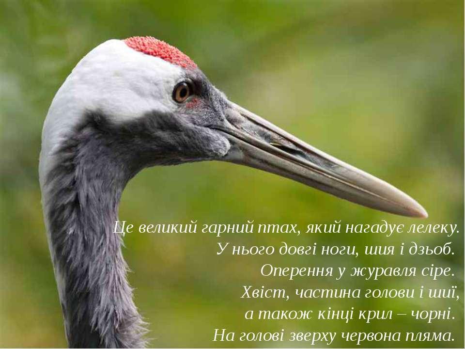 Це великий гарний птах, який нагадує лелеку. У нього довгі ноги, шия і дзьоб....
