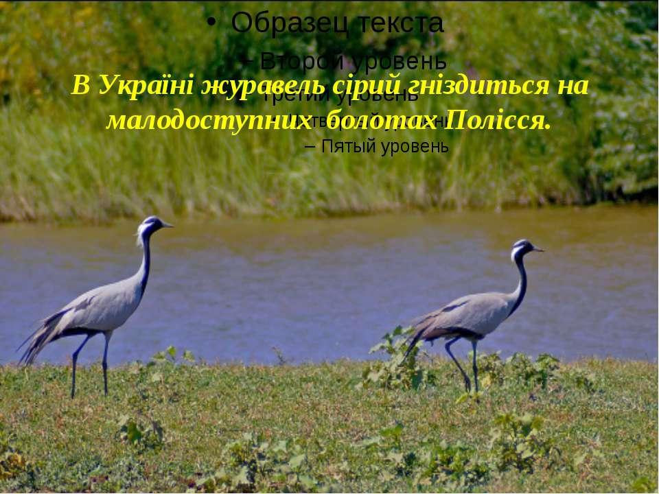 В Україні журавель сірий гніздиться на малодоступних болотах Полісся.