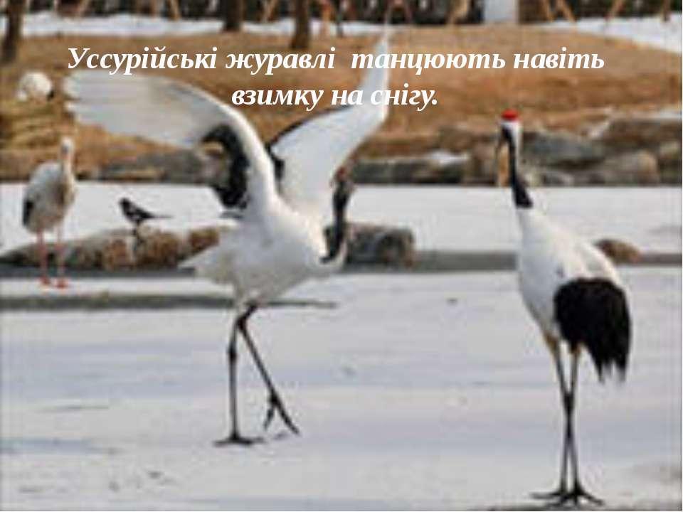 Уссурійські журавлі танцюють навіть взимку на снігу.