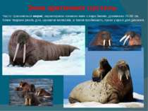 Зона арктичних пустель Часто трапляються моржі, характерною ознакою яких є п...