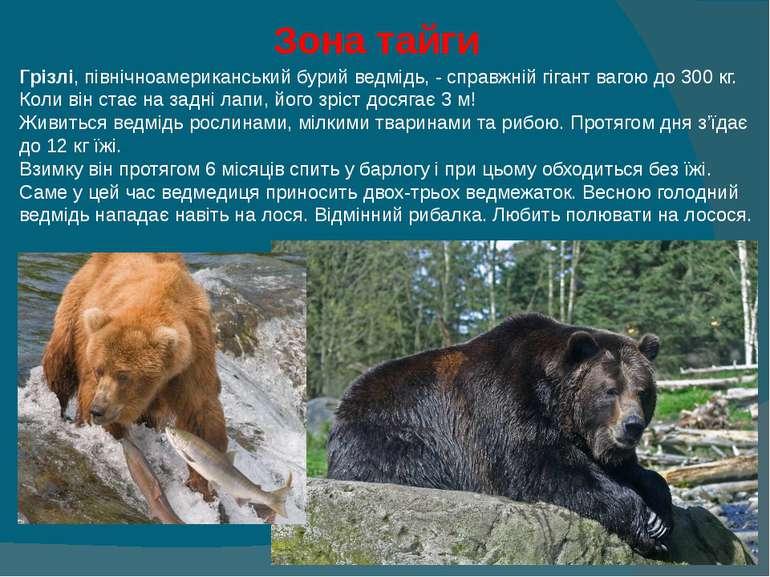 Зона тайги Грізлі, північноамериканський бурий ведмідь, - справжній гігант в...