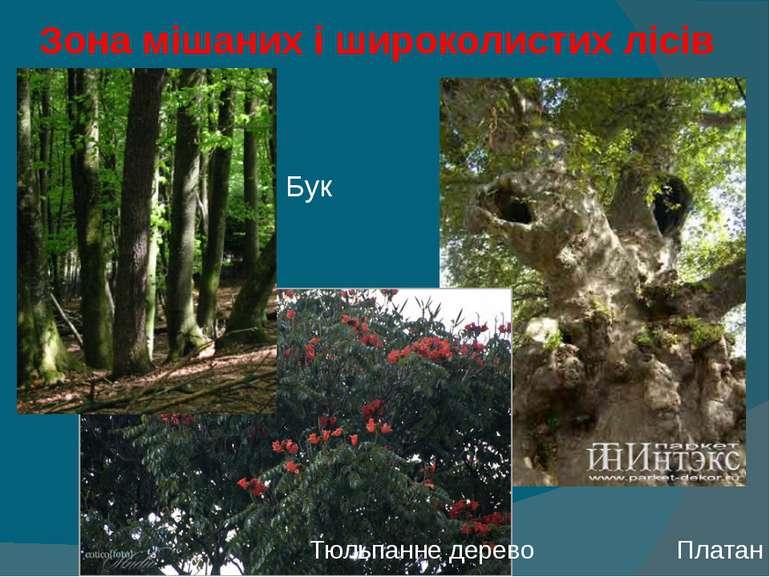 Зона мішаних і широколистих лісів Бук Тюльпанне дерево Платан