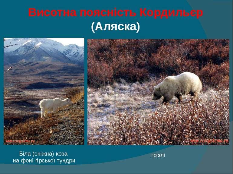 Висотна поясність Кордильєр (Аляска) Біла (сніжна) коза на фоні гірської тунд...