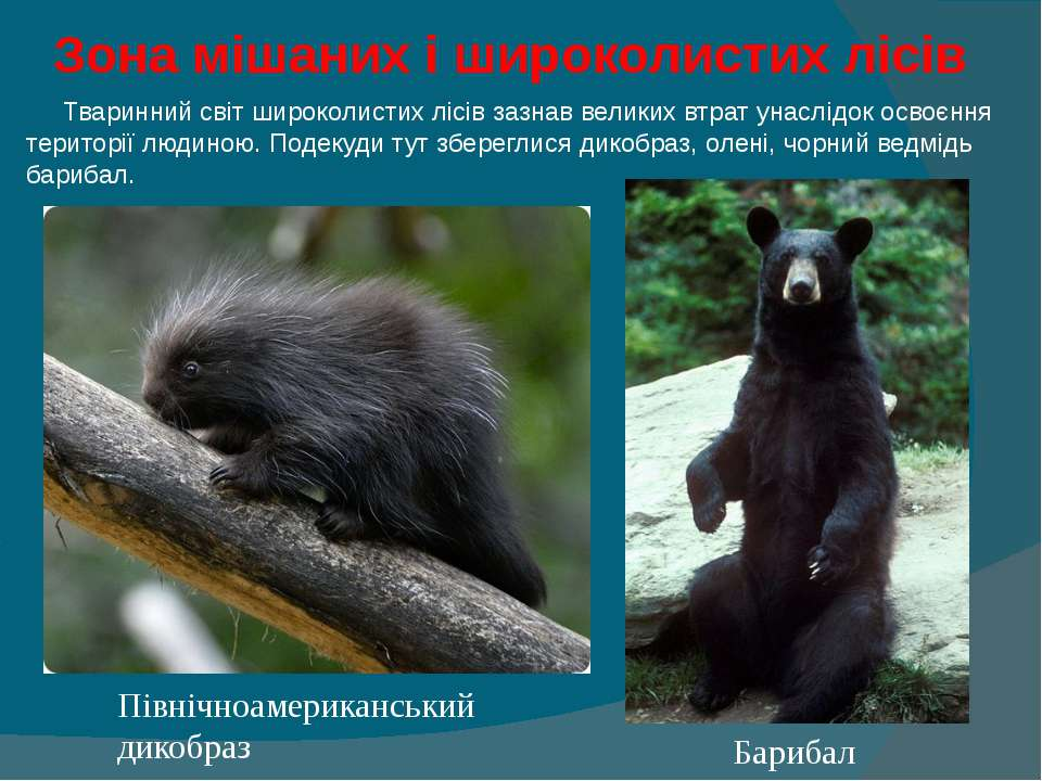 Зона мішаних і широколистих лісів  Тваринний світ широколистих лісів заз...