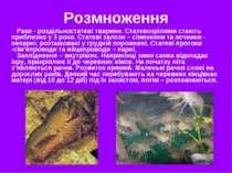 Розмноження Раки - роздільностатеві тварини. Статевозрілими стають приблизно ...