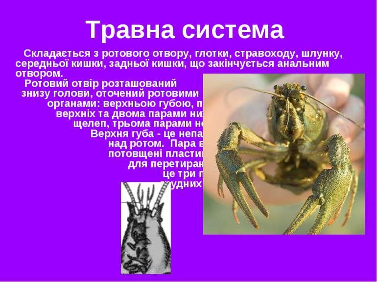 Травна система Складається з ротового отвору, глотки, стравоходу, шлунку, сер...