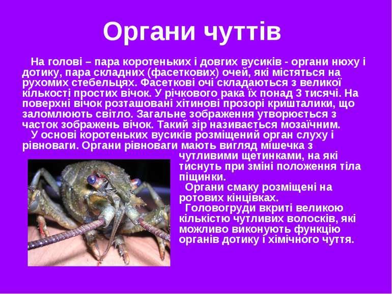 На голові – пара коротеньких і довгих вусиків - органи нюху і дотику, пара ск...