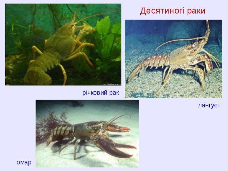 Десятиногі раки річковий рак омар лангуст