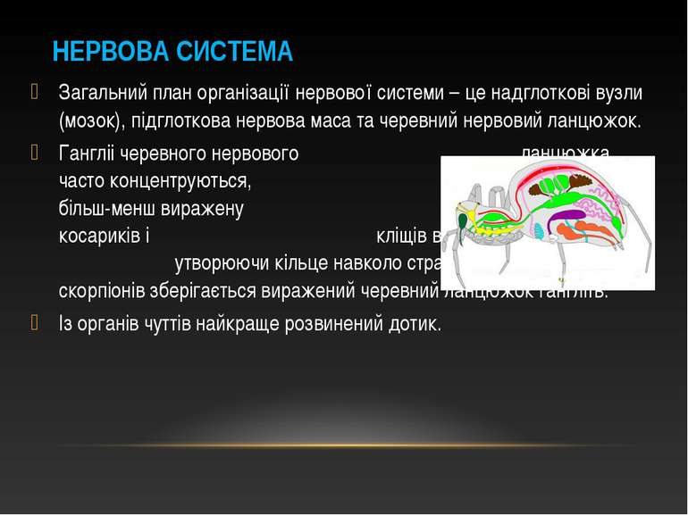 Загальний план організації нервової системи – це надглоткові вузли (мозок), п...