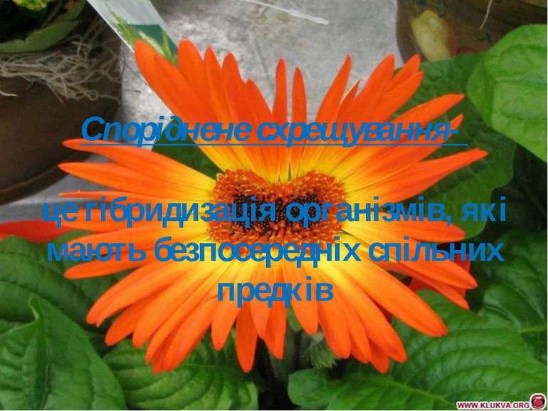 Споріднене схрещування- це гібридизація організмів, які мають безпосередніх с...